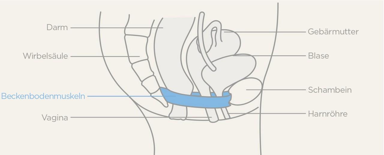 Diagramm Beckenbodenmuskulatur