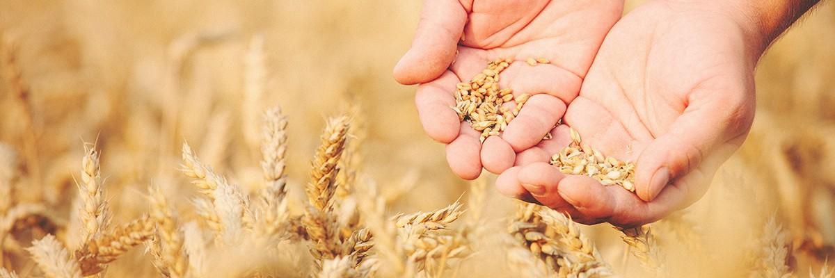 Hände halten Getreidekörner in der Hand, im Hintergrund ein Getreidefeld